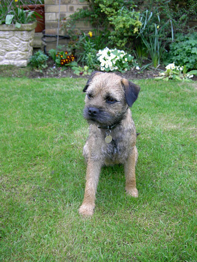 Bumble - One of our previous Border Terrier puppies at 1 Year Old -