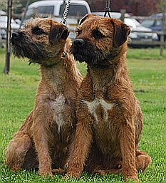Gilbert :A Brandycarr Border Terrier