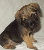 Border Terrier Picture Frame